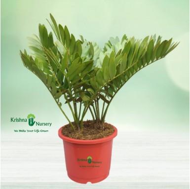 Zamia Palm - 18 Inch - Red Pot