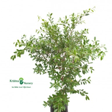 Micro Ficus Plant - 14 Inch - Poly Bag