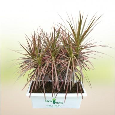 Dracena Marginata Plant - 24 Inch - White Pot