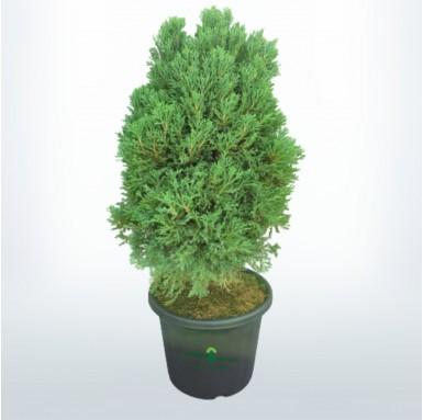 Juniperus Plant - 12 Inch - Black Pot