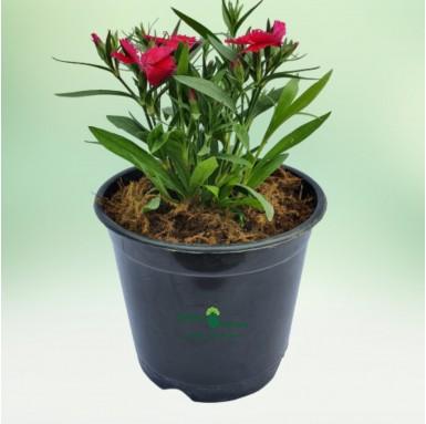Dianthus Flower Plant - 6 Inch - Black Pot