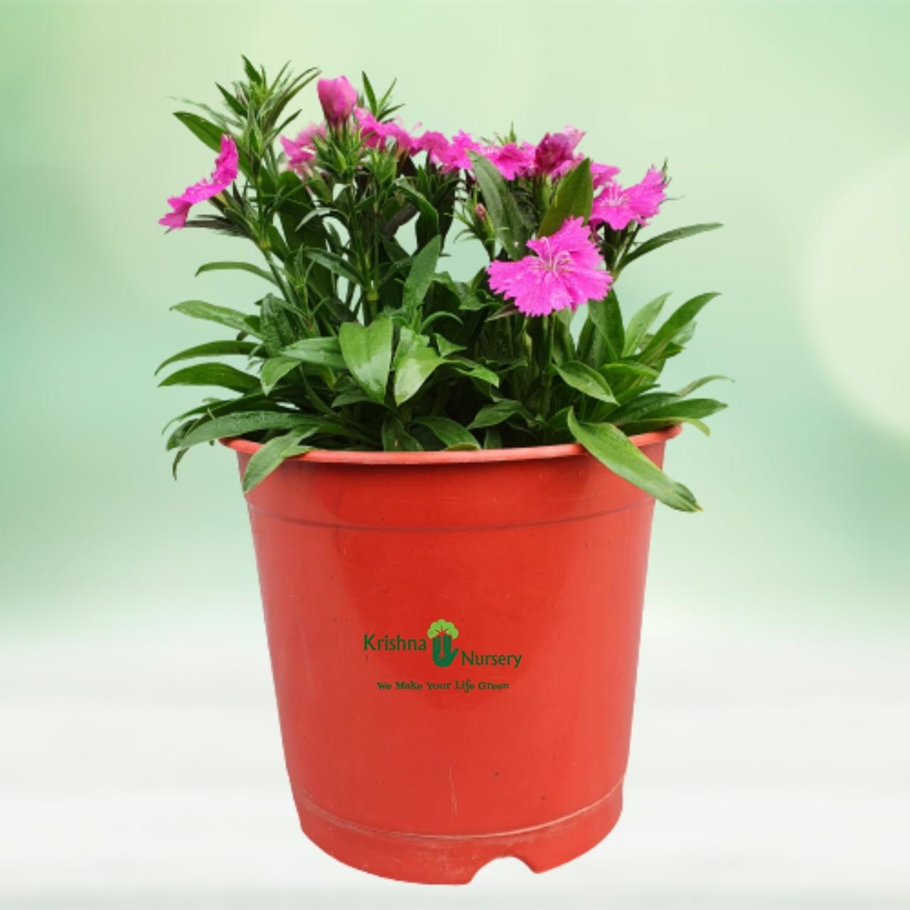 dianthus-flower-plant