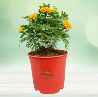 Marigold Plant - 6 Inch - Red Pot