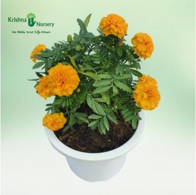 Marigold Plant - 8 Inch - White Pot