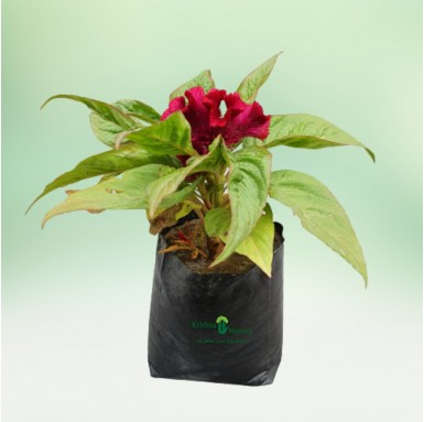 Cock's comb Plant - 8 Inch - Poly Bag