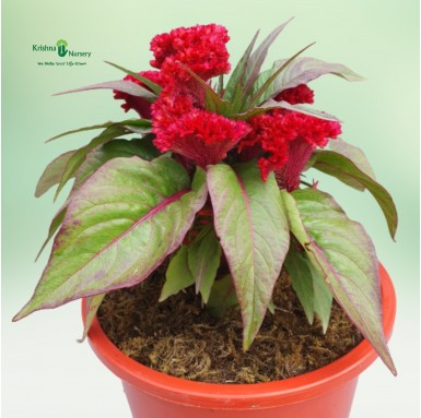 Cock's comb Plant - 8 Inch - Red Pot