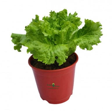 Kale Plant - 6 Inch - Red Pot