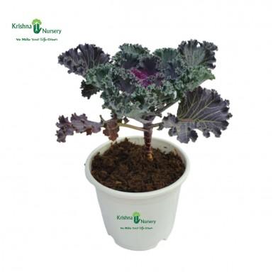 Kale Plant - 6 Inch - White Pot