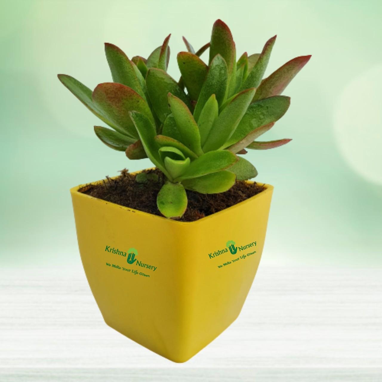 succulent-plant