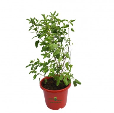 Tulsi Plant - 10 Inch - Red Pot