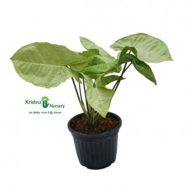 Syngonium Podophyllum Plant - 4 Inch - Black Pot