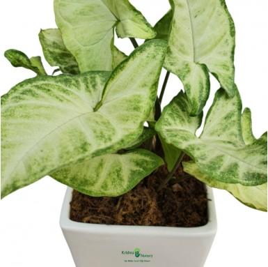 Syngonium Podophyllum Plant - 4 Inch - White Pot