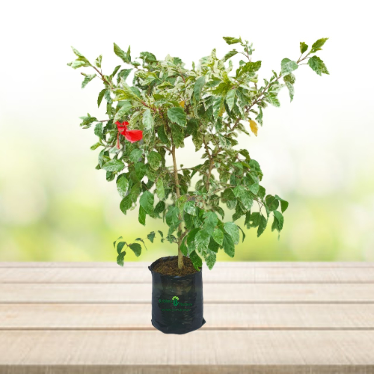 Variegated Hibiscus Flower Plant - 14 Inch - Poly Bag