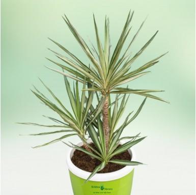 Silver Yucca Bonsai Plant - 18 Inch - Green Pot