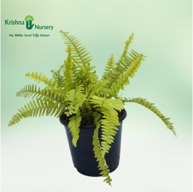 Golden Fern Plant