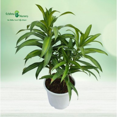 Green Song of India Plant - 10 Inch - White Pot