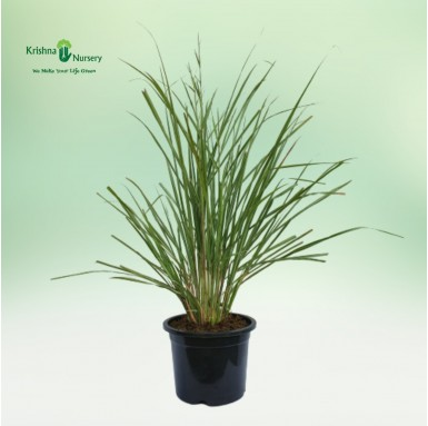 Lemon Grass (Cymbopogon)