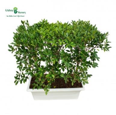 Micro Ficus Hedge Plant - 30 inch - White Pot