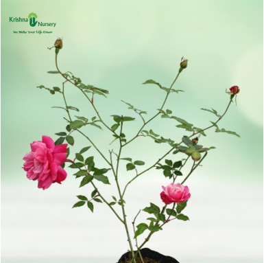Pink Rose Plant - 10 inch - Poly Bag