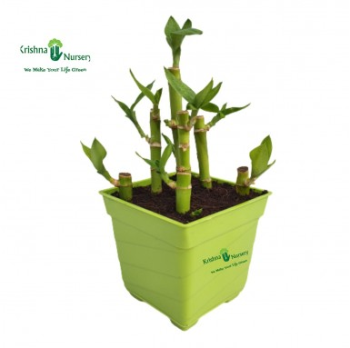 Lucky Bamboo Plant - 4 inch - Green Pot