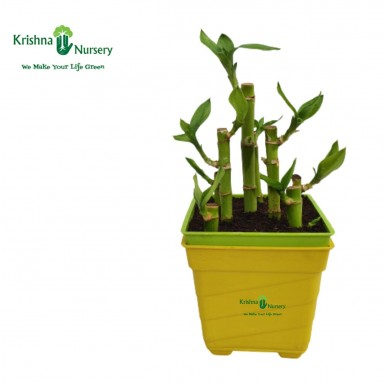 Lucky Bamboo Plant - 4 inch - Yellow Pot