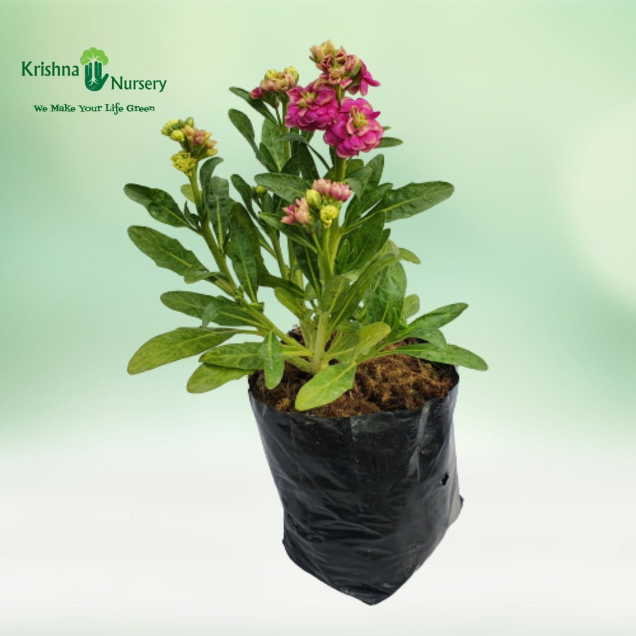 Stock Plant - 6 inch - Poly Bag