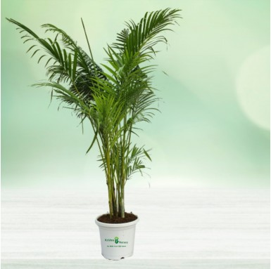 "Areca Palm with 10"" Pot"