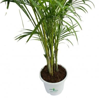 Areca Palm - 10 inch - White Pot