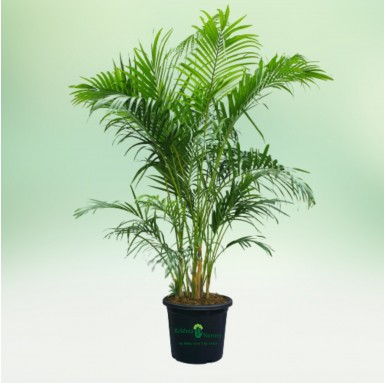 "Areca Palm with 12"" Pot"