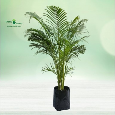 Areca Palm with Polybag