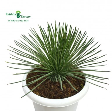 Green Agave Plant - 16 inch - white Pot