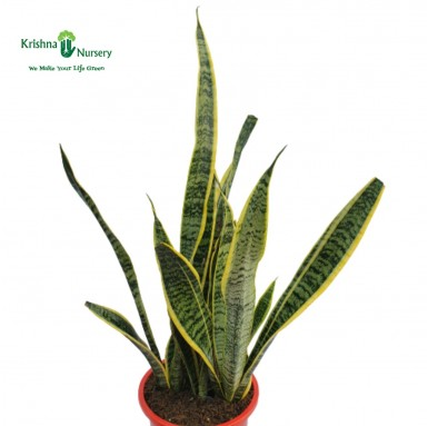 Snake Plant - 10 Inch - Red Pot