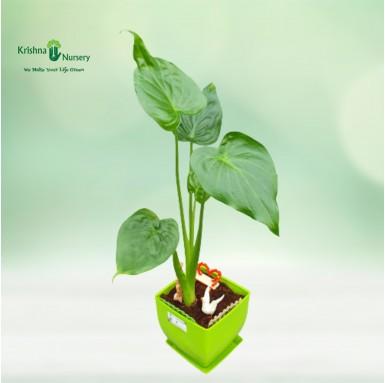 Alocasia Plant - 6 inch - Green Pot