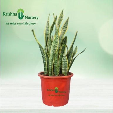 Snake Plant - 12 Inch - Red Pot