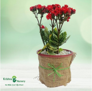 Dwarf Kalanchoe Gifting Plant - 6 Inch - Red Pot