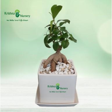 Bonsai Plant - 4 Inch - White Pot