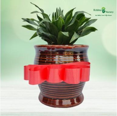 Dracena Compacta Plant