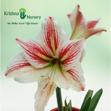 Amaryllis Lily Plant