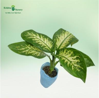 Diffen Bachia Plant