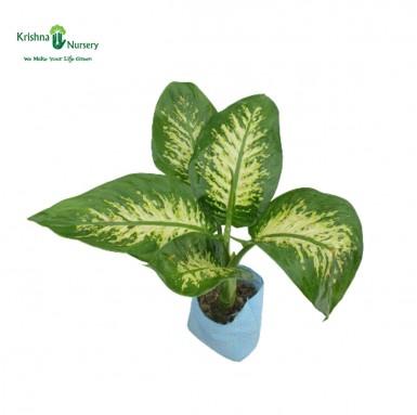 Diffen-Bachia Plant - 8 Inch - Poly Bag