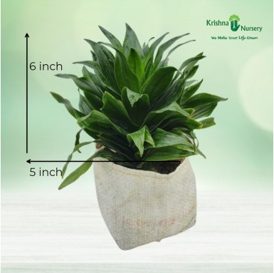 Dracena Compacta Plant - 5 Inch - Poly Bag