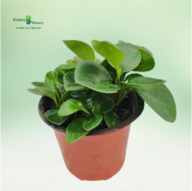 Peperomia Plant - 5 inch - Red Pot