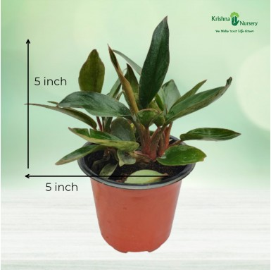 Philodendron Red Plant - 4 Inch - Red Pot