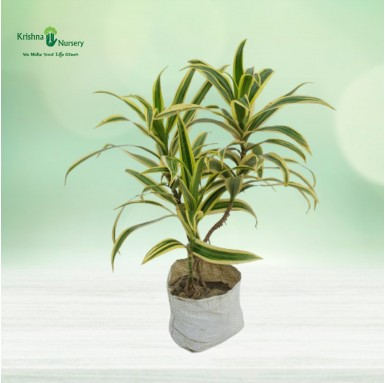 Golden Song of India Plant - 4 Inch - Poly Bag