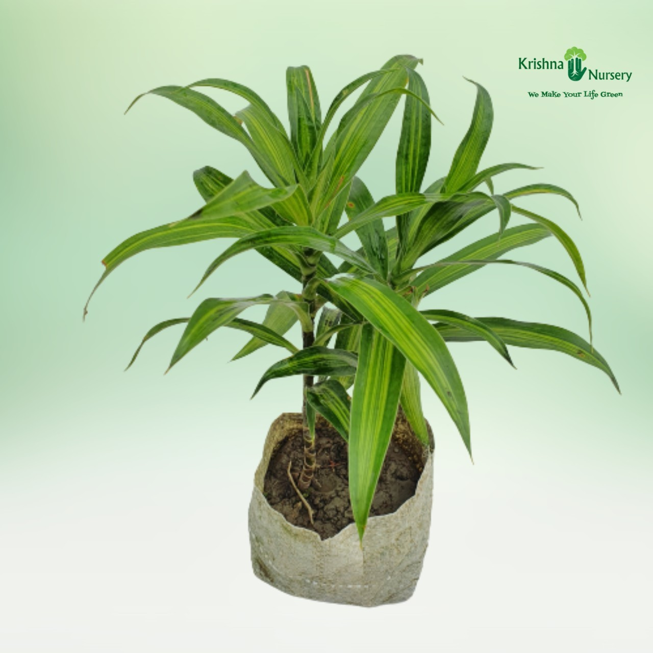 Green Song Of India Plant - 4 inch - Poly Bag