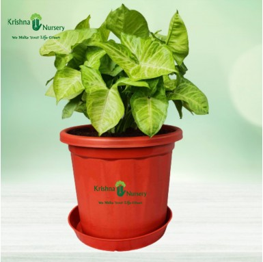Syngonium Golden Plant - 10 Inch - Red Pot