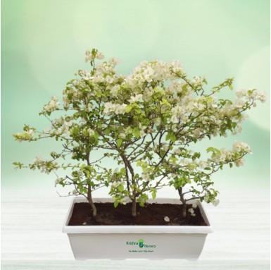 Bougainvillea White Flower Plant - 30 inch - White Pot