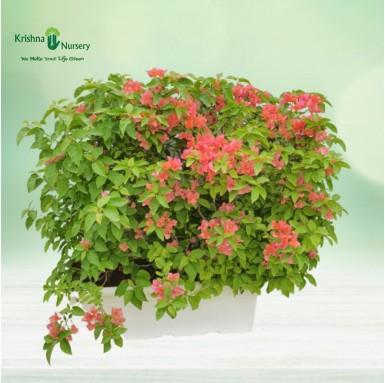 Bougainvillea Peach Flower Plant - 30 Inch - White Pot