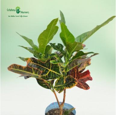 Oakleaf Croton Plant - 8 Inch - Poly Bag