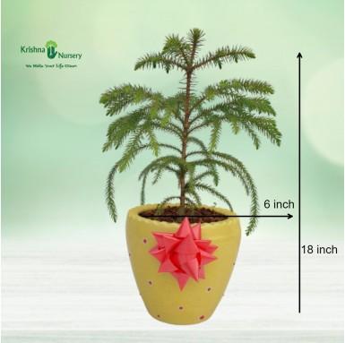 Small Araucaria Plant